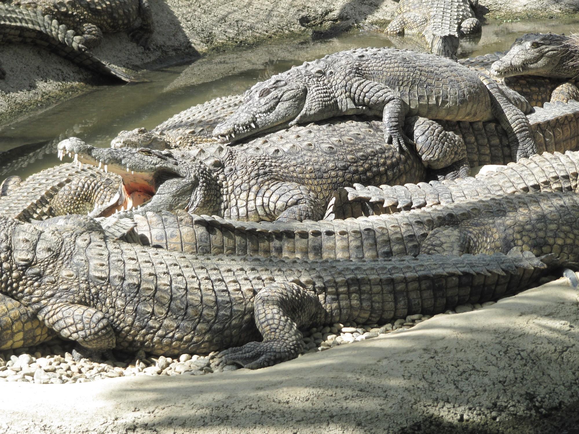 vist to crocodile park Dubai-crocodile-park-place-visit - dubai travel, tour, uae visa, dubai car rental, hotel booking, places visit in dubai, city guide directory and links.